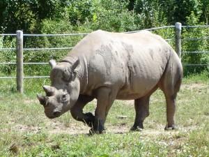 Rhinocer